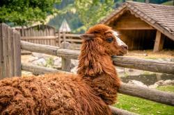 Alpaka 1 - Proneben Gut