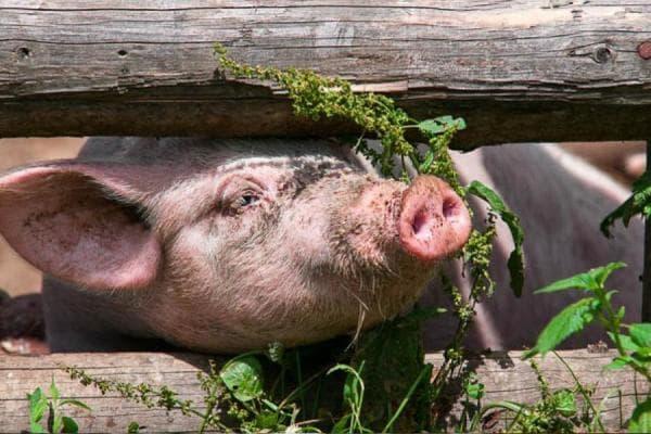 Unser Schweinchen freut sich auf die Belohnung