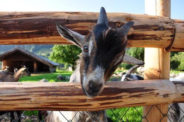 Unsere Ziegen - wir sind auch immer sehr neugierig